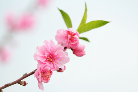 Pink chinese plum flowers or japanese apricot flowers plum blossom pink chinese plum flowers or japanese apricot flowers plum blossom stock photo picture and royalty free image image 36086632 mightylinksfo