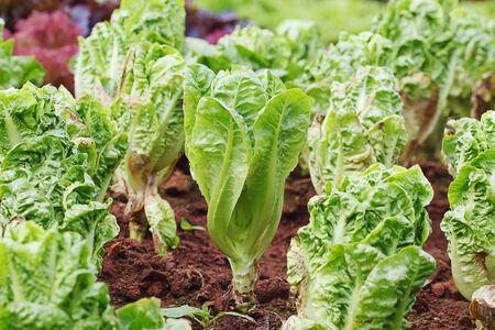 cos: Green Cos hydroponics in vegetable garden