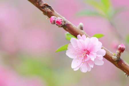 Pink chinese plum flowers or japanese apricot flowers plum blossom pink chinese plum flowers or japanese apricot flowers plum blossom soft focus and blurred background mightylinksfo