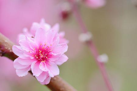 ciruelo: Flores rosadas chinas ciruela o flores japonesas de albaricoque, ciruelo en flor foco suave y fondo borroso