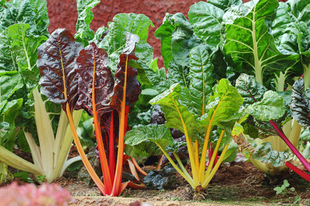 Swiss Chard hydroponics in vegetable garden Stock Photo