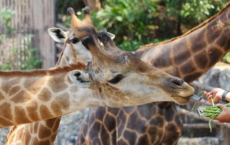 big5: Feeding the giraffes on safari, Closeup