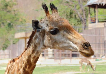 big5: Closeup, giraffes in safari
