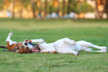 dogs playing: Beagle, Dogs playing happily in the grass Stock Photo