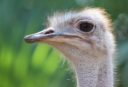 big5: Closeup, Ostrich head and green background Stock Photo