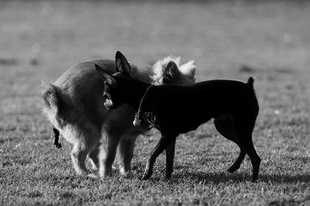 defecate: Cane defecare in giardino, in bianco e nero, in bianco e nero Archivio Fotografico