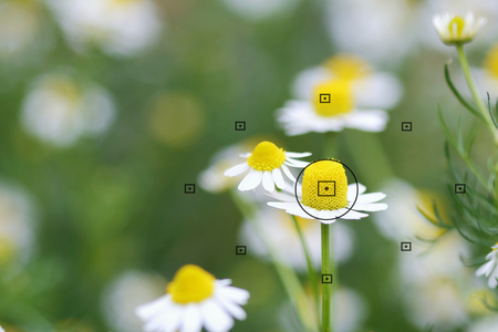 focal point: daisy flowers, focal point on camera in daisy flower during the focus, blurred background
