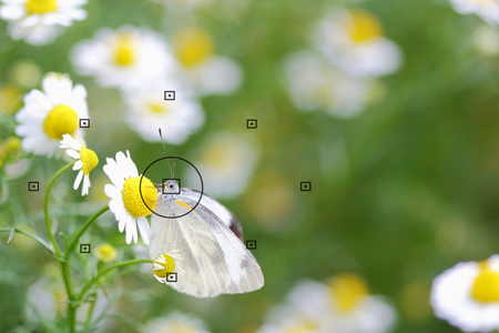 focal point: daisy flowers, focal point on camera in butterfly on daisy flower during the focus, blurred background Stock Photo