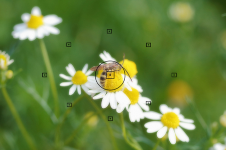 focal point: daisy flowers, focal point on camera in bee on daisy flower during the focus, blurred background Stock Photo