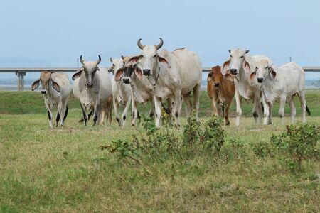 bullock animal: Herd of cows in the pasture rural Thailand
