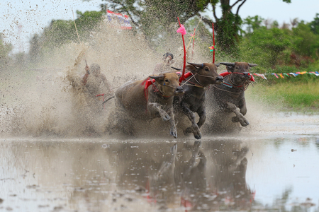 festal: Buffalo tradition as reflected in Chonburi province is one of the unique traditions of the province of chon buri, which was held for more than 100 years, Chonburi Thailand Stock Photo