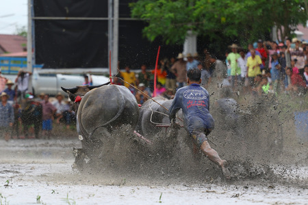 19 years: Chon Buri, Thailand - July 19, 2015: Buffalo tradition as reflected in Chonburi province is one of the unique traditions of the province of chon buri, which was held for more than 100 years.