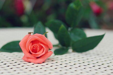 rosas naranjas: Orange roses on a white table.