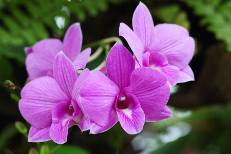 orchidea: Beautiful purple orchids blooming in the garden. Stock Photo