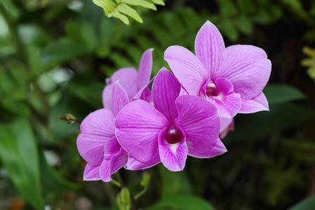 flores moradas: Beautiful purple orchids blooming in the garden. Foto de archivo