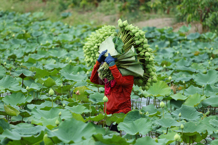 lotus: Farmers are harvesting the lotus in the field, Nakhon Pathom,Thailand.