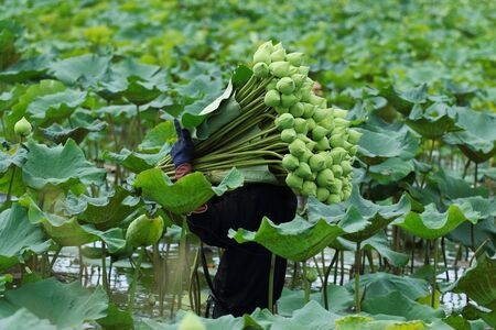 goodness: Farmers are harvesting the lotus in the field preparation for distribution, Nakhon Pathom,Thailand. A lotus for worship A symbol of purity and goodness in Buddhism.