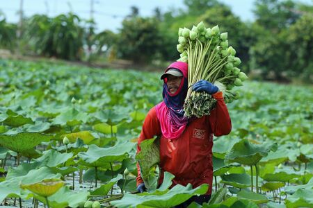 goodness: Nakhon Pathom,Thailand - August 24, 2015: Farmers are harvesting the lotus in the field preparation for distribution. A lotus for worship A symbol of purity and goodness in Buddhism.