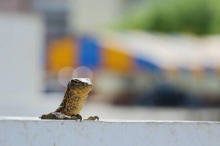 salvator: Varanus salvator or water monitor and blurred background