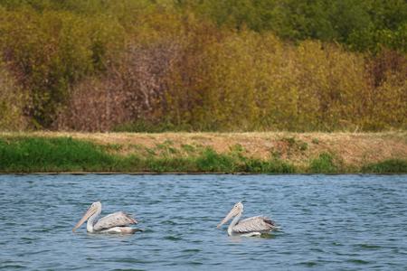pelecanidae: Spot-billed Pelican on the blue water