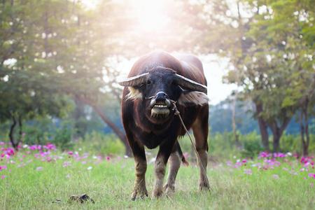 graden: buffalo looking at camera and cosmos flowers graden