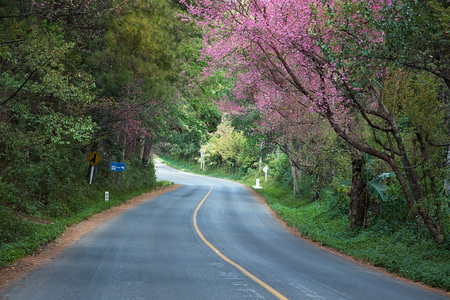 landscape background: Road and Wild Himalayan Cherry beautiful nature of Thailand