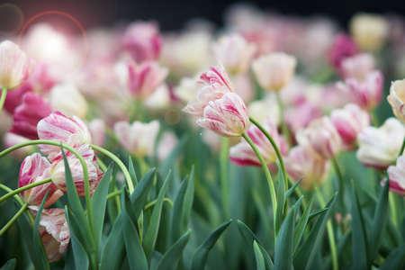 tulipan: Tulipan w ogrodnictwie
