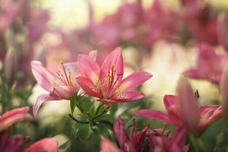 campo de flores: Lilly rosado en el jard�n Foto de archivo