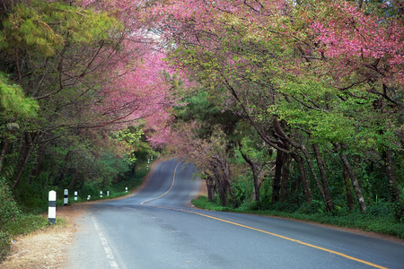 Road and Wild Himalayan Cherry beautiful nature of Thailand