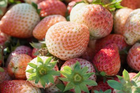harvested: freshly harvested strawberrie