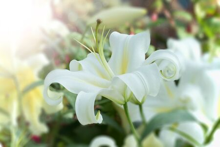 white lilly: White Lilly in the garden