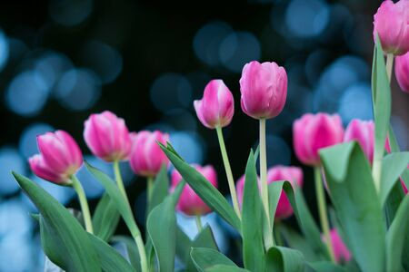 pink wallpaper: Pink Tulip in the gardening and blurred background Stock Photo