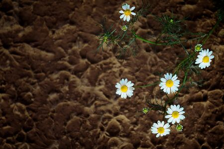 chamomile flower: Chamomile flower and brown blackground Stock Photo