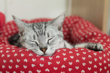 red bed: American Shorthair, cat sleeping in a red bed for cats
