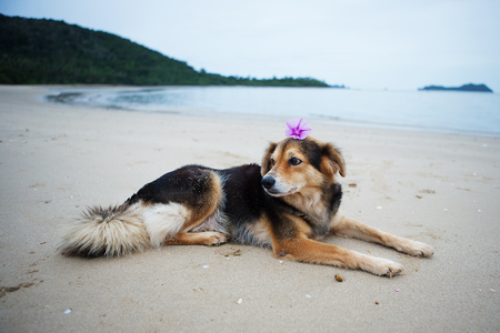 pes caprae: Ipomoea pes-caprae flower placed on the dogs head, lying on the beach.