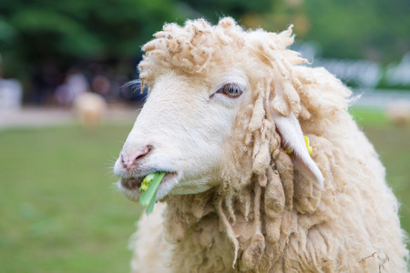 Feeding,Sheep chewing grass in farm Stock Photo