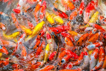 Fancy carp fish, koi fish Stock Photo