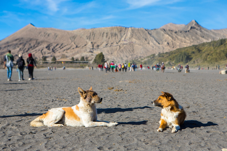The dog in Mount Bromo, is an active volcano and part of the Tengger massif, in East Java, Indonesia.
