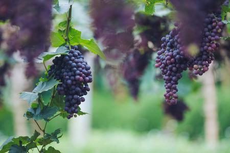Grapes in vineyard, closeup Foto de archivo