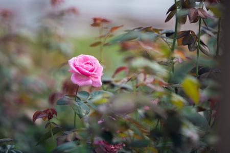 pink roses in rose garden