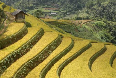 rice plant in northern Vietnam