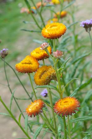 everlasting: Straw flower, Everlasting,flowers