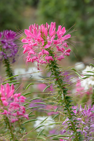 Pink And White Spider flower(Cleome hassleriana) in the garden Stock Photo