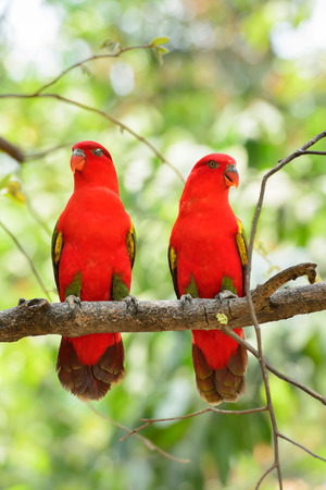 Chattering Lory (Lorius garrulus), standing on a branch in Thailand Zoo