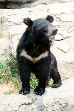Asiatic black bear in Khon Kaen Zoo ,Thailand