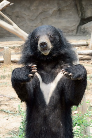 ursus: Asiatic black bear in Khon Kaen Zoo ,Thailand
