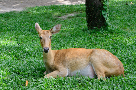 Burmese brow-antlered deer or Rucervus eldii thamin. Stock Photo