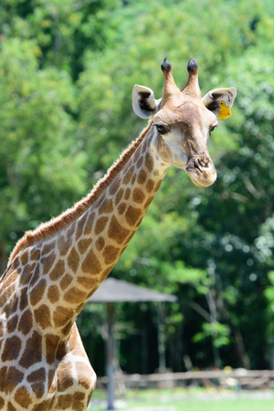Close up giraffe on green tree background, Thialand