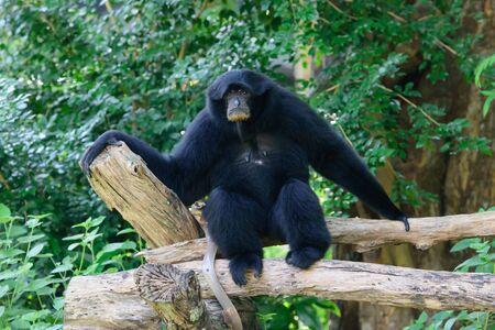 Siamang, black furred gibbon, Thailand