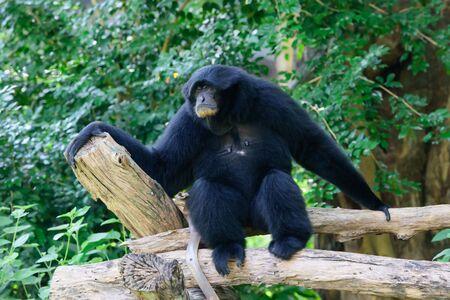 siamang: Siamang, black furred gibbon, Thailand